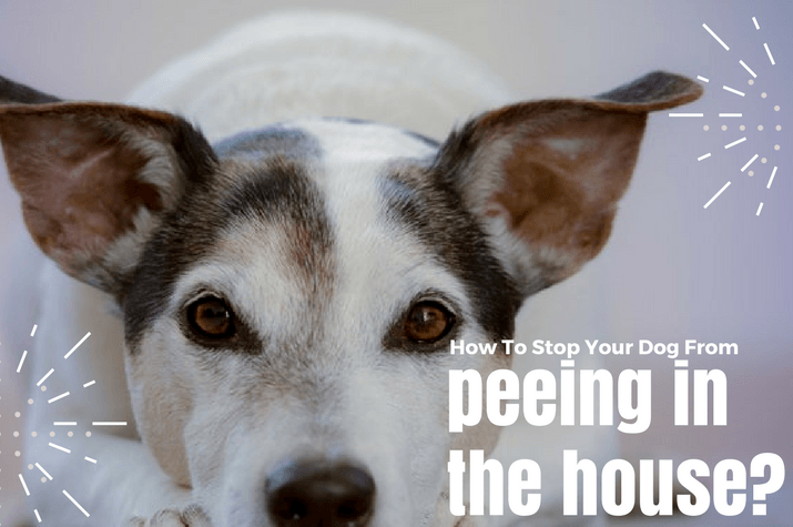 Why does a dog pee in the house? Is it behavioral or health related?