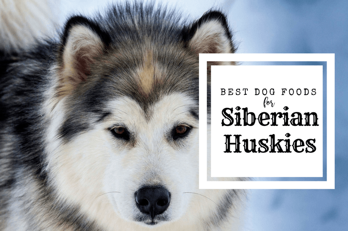 A working Siberian Husky, exploring their diet and feeding nutrition guide,