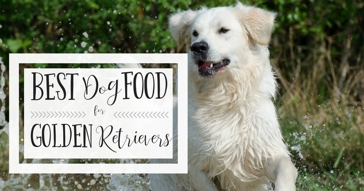 An adult Golden Retriever, exploring their diet and feeding nutrition guide,