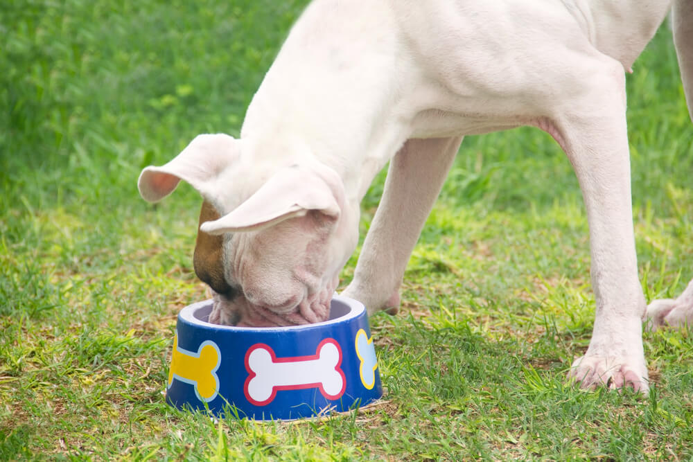 A boxer dog eating food from his bowl