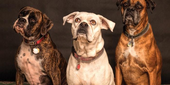 Three Adult Boxer Dogs eagerly awaiting to be fed