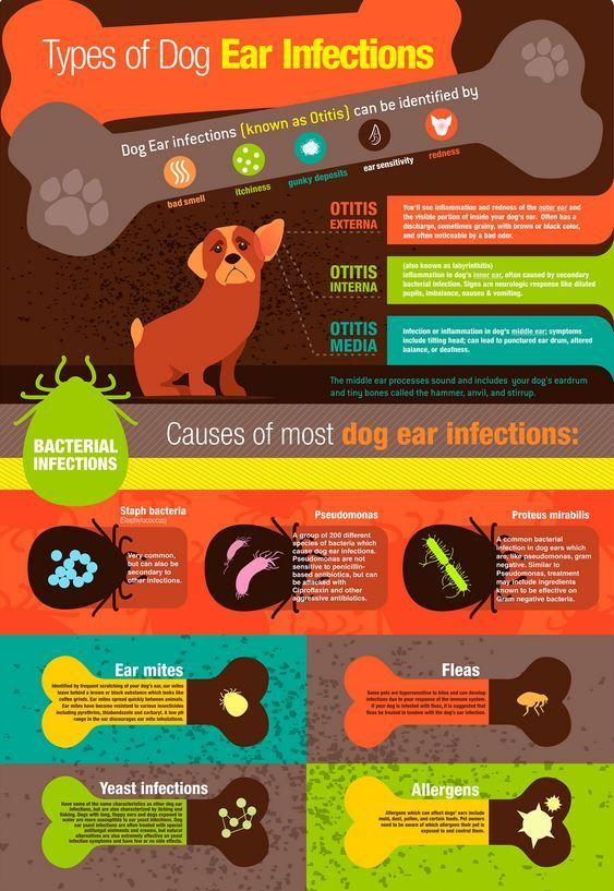 How to check for an ear infection in a dog