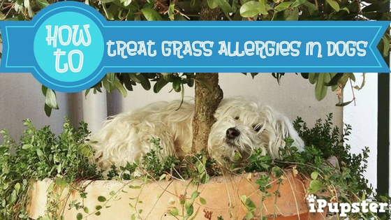 How to treat Seasonal Grass Allergies in Dogs