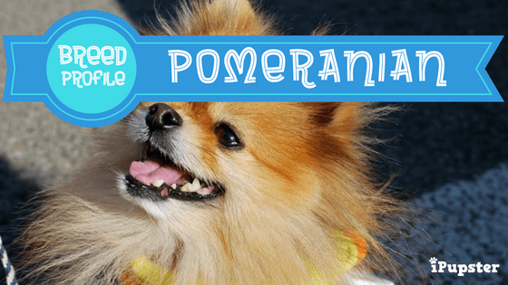 Pomeranian Exercise, Diet and Breed Characteristics