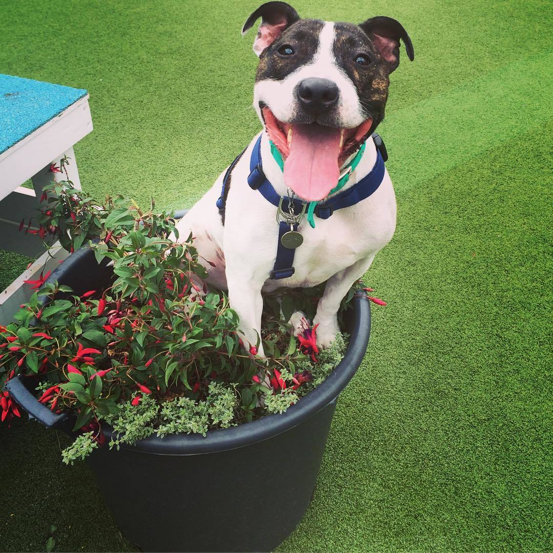 Staffordshire Bull Terrier sitting in flower pot.