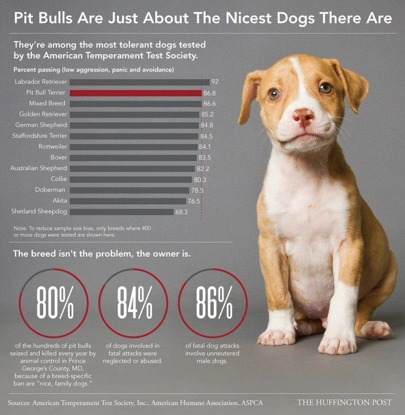 Infographic about pitbulls
