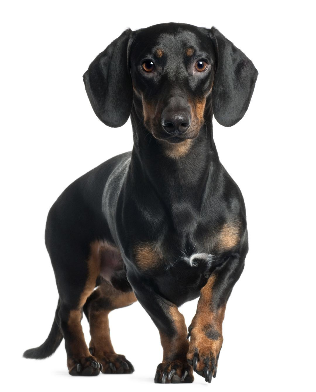 Signs of Intervertebral disc disease (IVDD) in Dachshunds