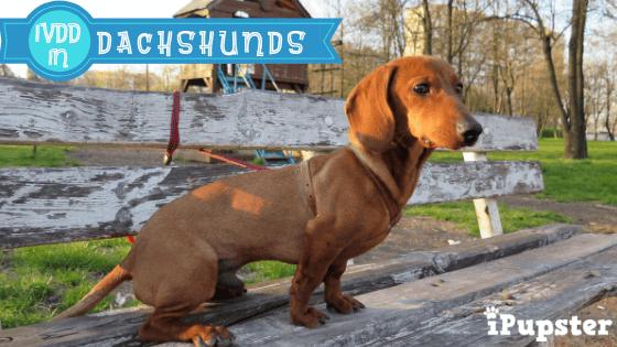 Dachshund siting on bench