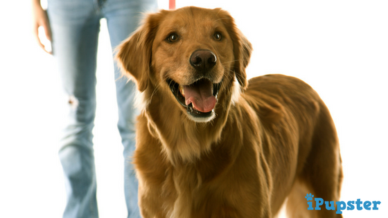 A Golden Retriever and his Owner Walking on a Leash