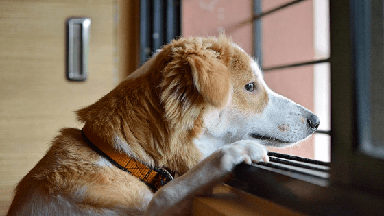 Anxious Dog Left Home Alone