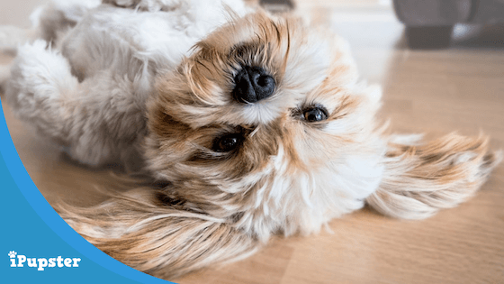Cute Lhasa Apso Puppy