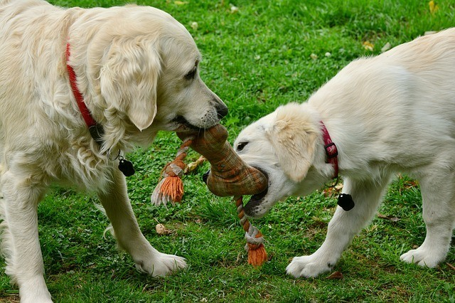 Chew toys for golden retriever puppies