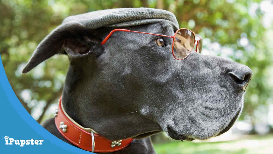 Nutrition for Great Danes