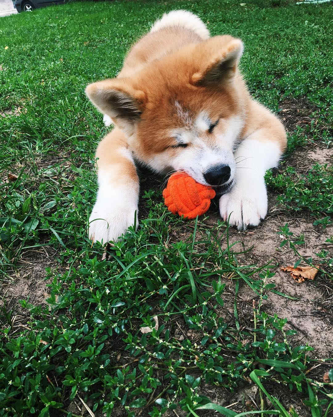 Akita playing with a chew toy