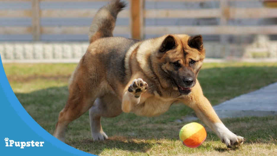 Akita Playing With A Fetch Ball Toy