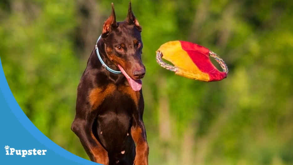 Toys for Dobermans