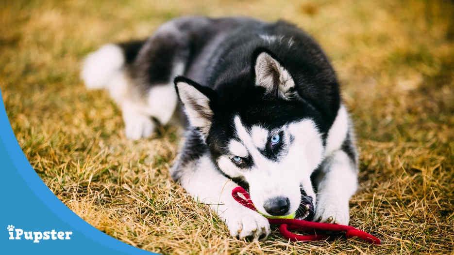 Best Toys for a Siberian Husky