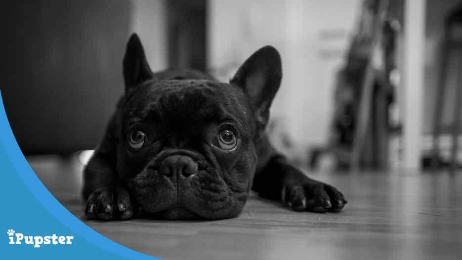 French Bulldog Nose Surgery