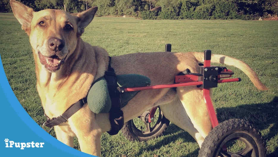 German Shepherd in a Partial Wheelchair with Degenerative Myelopathy?