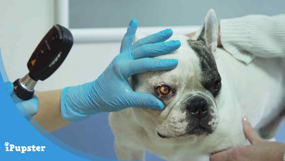 Progressive Retinal Atrophy in Dogs - Causes, Signs, Symptoms, Treatment, Surgery and Cost.