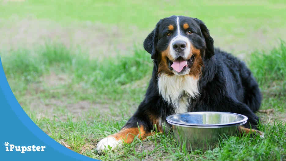 The 4 Best Food For Bernese Mountain Dogs In 2019 Reviews