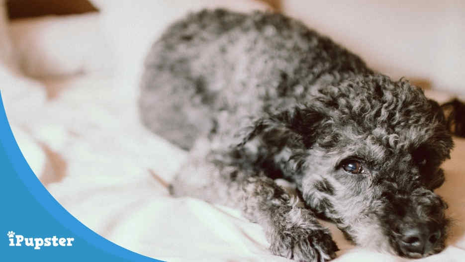 Cushing's disease in dogs causes, signs and treatment