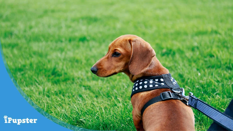 Small and Toy Breed Dog Harnesses