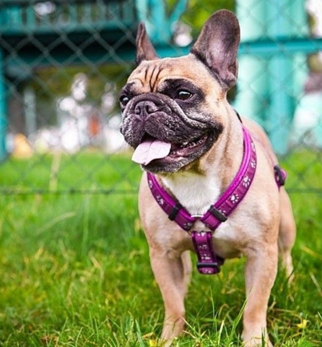 Walking a Frenchie on a Dog Harness and not a Leash and Collar