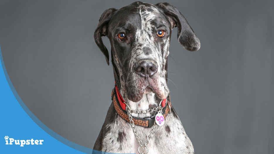 Great Dane Dog Insurance
