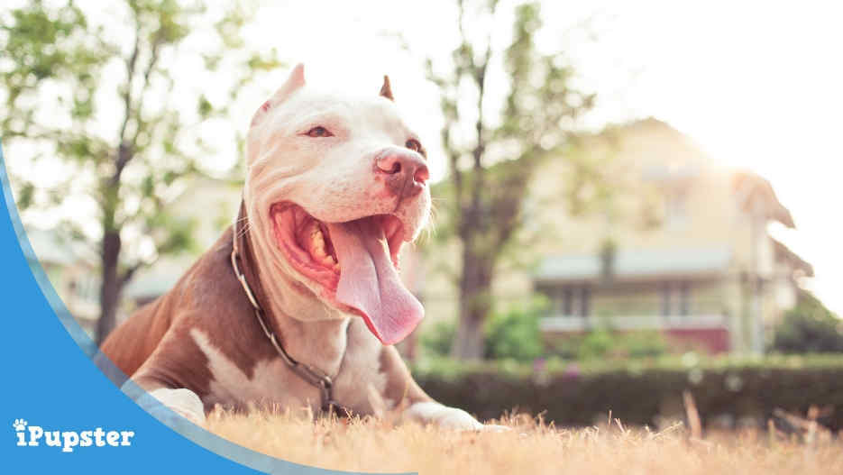 Insurance Coverage for Pitbulls