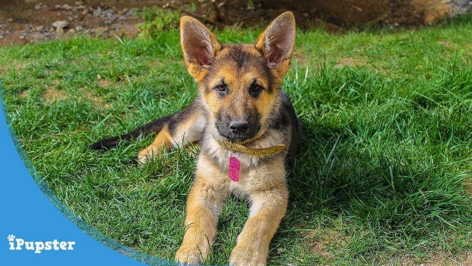 German Shepherd Pet Insurance