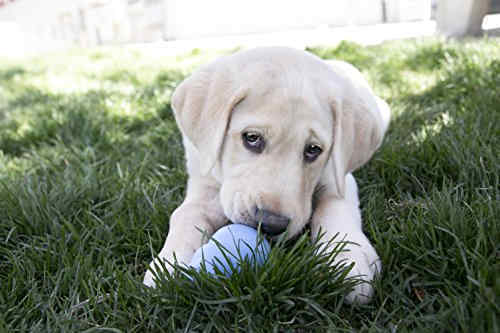 Lab Puppy Playing With Squeaky Dog Toy