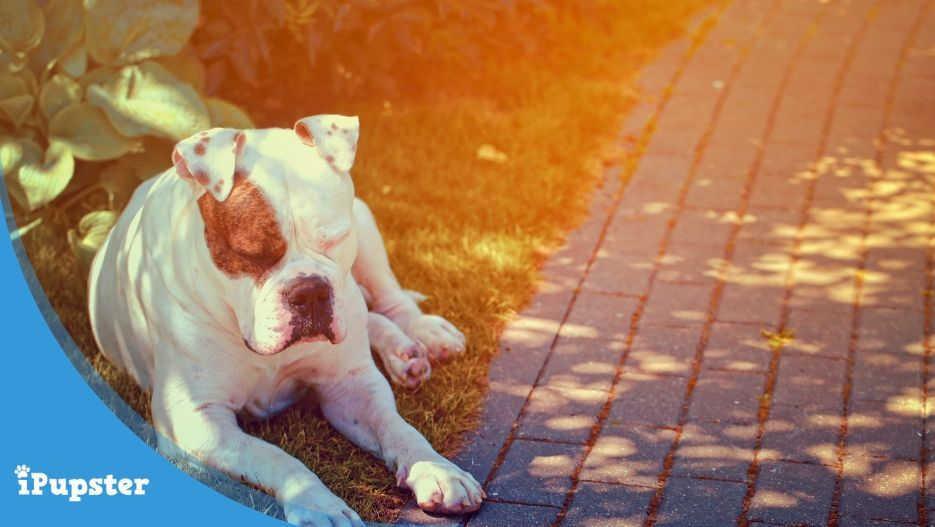 American Bulldog Insurance