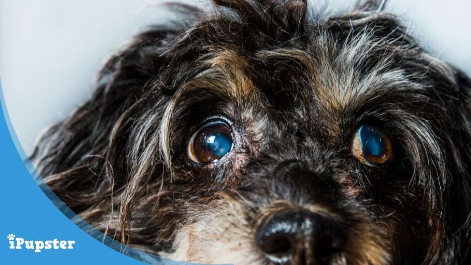 Glaucoma in dogs, causes and symptoms