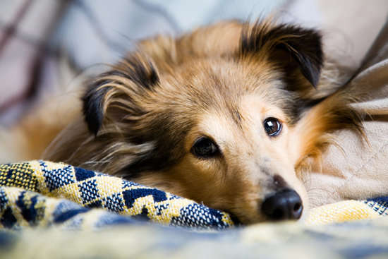 A sheltie dog lying down
