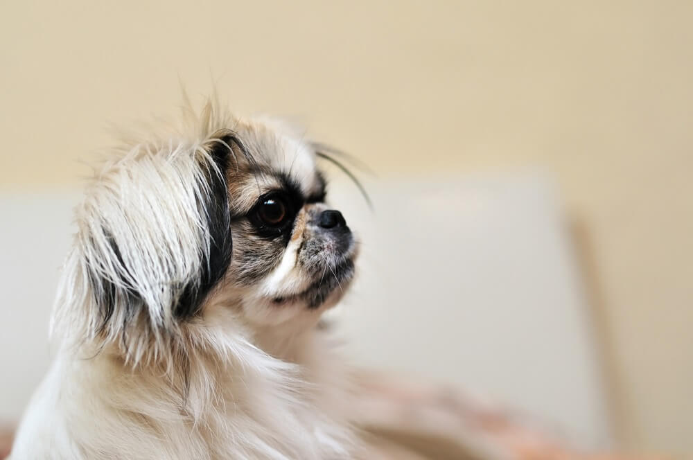 A family of Japanese Chin Dogs