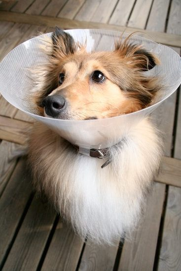 Health Issues in Shelties