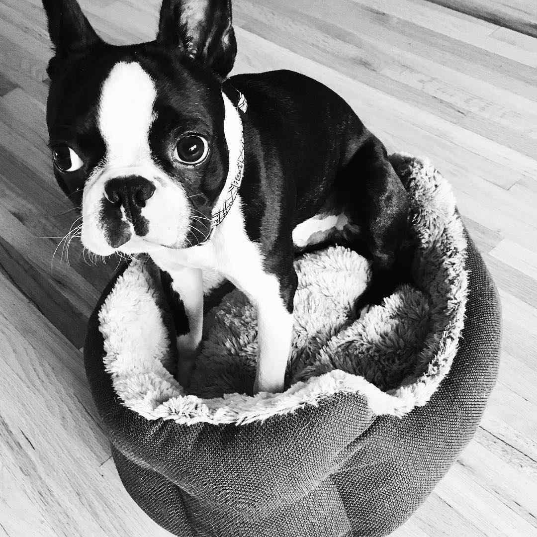 Boston terrier sitting on a dog bed too small