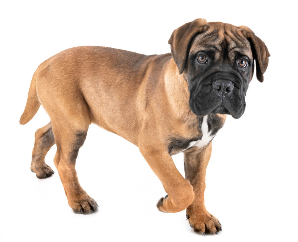 A cute bullmastiff puppy
