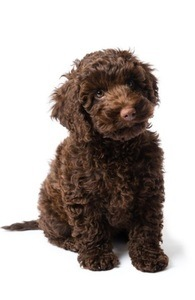 Nutrition and Diet Tips for Labradoodles