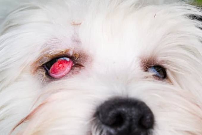 What is Cherry Eye in Dogs