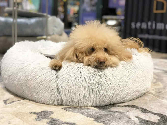 A tiny maltipoo nestled in the shag donut cuddler