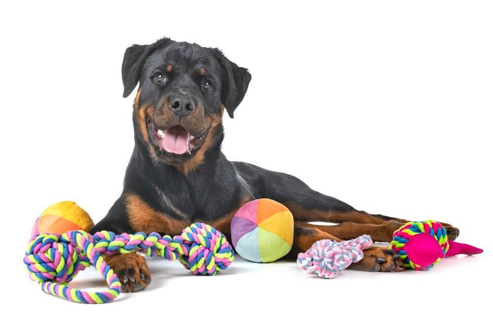 Rope toys, ball dog toys, plush dog toy surrounding a Rottweiler