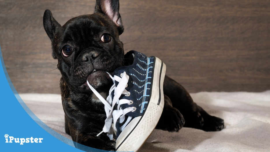 Cute Bulldog puppy biting on a shoe