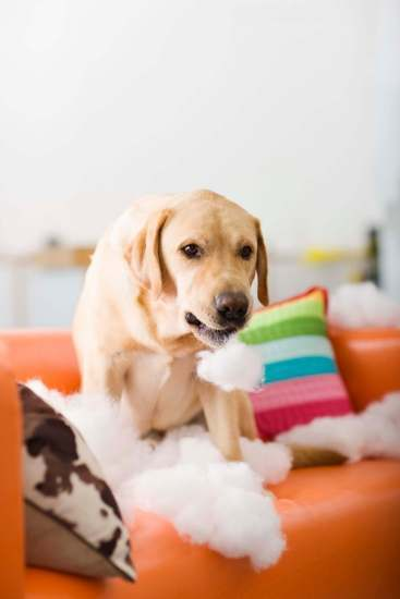 An adult dog chewed destroyed cushion