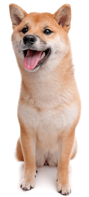 Popular Japanese dog breed