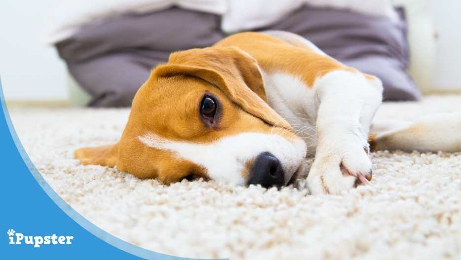 cute Beagle puppy lying on carpet at home