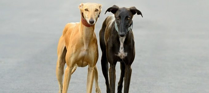 Two female Spanish greyhounds