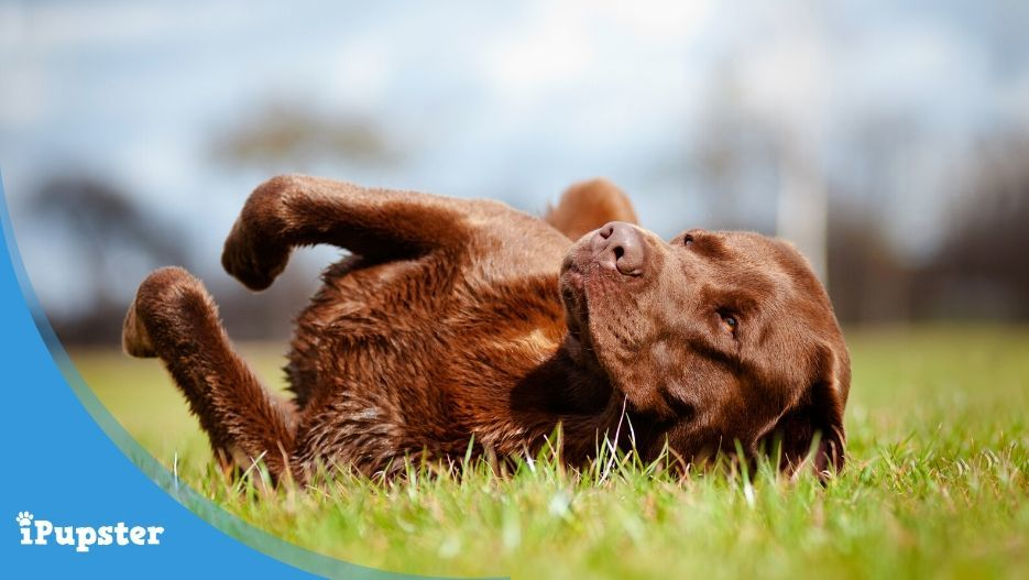 Brown Labrador rolling around in grass
