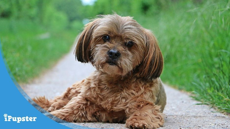 A cute and adorable small dog breed